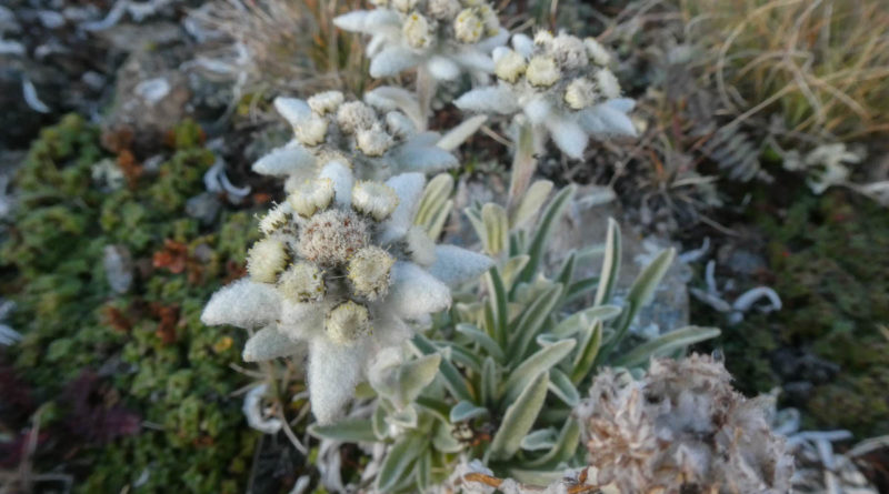 edelweiss val cogne